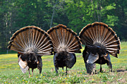 Turkeys Prints - Three Fans Print by Todd Hostetter