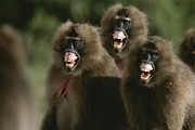 Monkeys Prints - Three Female Geladas, Theropithecus Print by Michael Nichols