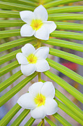 Frangipani Photos - Three Frangipanis by Laura Leyshon