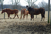 Caballo. Fence Prints - Three Friends Print by J M L Patty