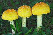 Fungus Prints - Three Fungiteers Print by Alan Lenk