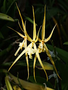 Mary Deal Prints - Three Golden Spider Orchids Print by Mary Deal