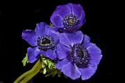 Anemones Posters - Three Graceful Anemones. Poster by Terence Davis