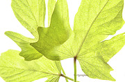 Nature Study Photo Posters - Three Green Leaves Poster by Regina Geoghan