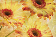 Gerber Daisy Framed Prints - Three Gs Framed Print by Rebecca Cozart