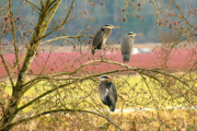 Gbh Posters - Three Herons Poster by Sharon  Talson