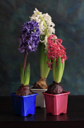 Hyacinth Metal Prints - Three Hyacinths Metal Print by Panga Natalie Ukraine