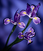 Signed Photo Prints - Three Iris Xiphium Print by Kirk Ellison