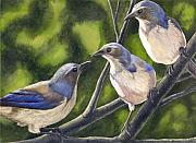Scrub Jay Paintings - Three Jays by Catherine G McElroy