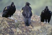 Padres Framed Prints - Three Juvenile California Condors Perch Framed Print by Joel Sartore