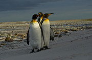 Penguins Photos - Three kings by Mark H Roberts