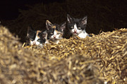 Kittens Photos - Three Kittens by Scotts Scapes