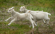 Sheep Prints - Three Lambs Running 1 Print by Warren Sarle