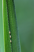 Green Blade Of Grass Posters - Three Little Aphids All In A Row Poster by Tracie Kaska