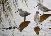 Wildlife Genre Prints - Three Long Billed Dowitchers Print by Roena King