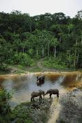 Central African Republic Photos - Three Male Forest Elephants Quench by Michael Nichols