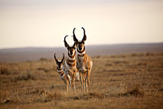 Hunted Photos - Three male Pronghorn Antelopes in Alberta by Mark Duffy
