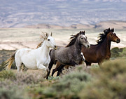 Wild Horses Posters - Three Mares Running Poster by Carol Walker