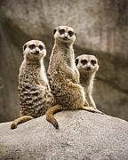 Meerkat Photography Acrylic Prints - Three Meerkats Acrylic Print by Chad Davis