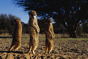 South Africa Prints - Three Meerkats With Paws Poised Neatly Print by Mattias Klum
