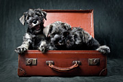 Schnauzer Puppy Posters - Three Miniature Schnauzer Puppies In Old Suitcase Poster by Steve Collins / momofoto