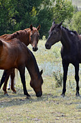 Wild Mustangs Posters - Three of a Kind Poster by Ken Smith