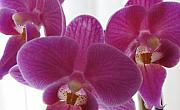Purple Floral Posters - Three Orchids Poster by M P Mahoney