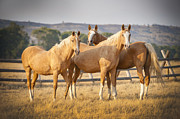 Palomino Photos - Three Palomino Ponies Looking At The Camera by Stephen Simpson