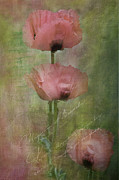 Pinks Posters - Three poppies Poster by Carolyn Dalessandro