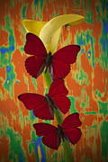 Calla Lilies Plants Framed Prints - Three red butterflies on yellow calla lily Framed Print by Garry Gay