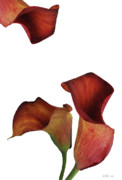 Cala Lilly Prints - Three Rust Calla Lilies Print by Heather Kirk