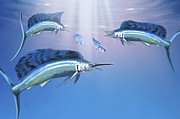 Isolated Digital Art Acrylic Prints - Three Sailfish Hunt For Their Prey Acrylic Print by Corey Ford