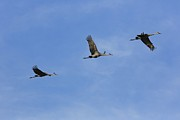 Cranes In Florida Framed Prints - Three Sandhill Cranes Flyover Framed Print by Carol Groenen
