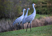 Cranes Prints - Three Sandhills on the Hill Print by Carol Groenen
