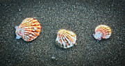Sea Shell Digital Art Photo Posters - Three Sea Shells Poster by Steve McKinzie