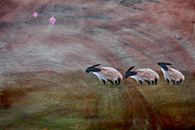 Pink Pigs Acrylic Prints - Three Sheep In The Wind and Pigs Fly Acrylic Print by Jean Moore
