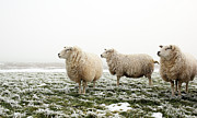 Livestock Tapestries Textiles - Three Sheep In Winter by MarcelTB