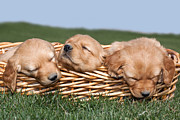 Sleeping Baby Animals Posters - Three Sleeping Puppy Dogs in Basket Poster by Cindy Singleton