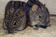 Mice Photos - Three-striped Mice by Bob Gibbons