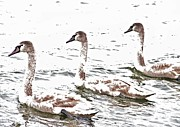 Abstracted Photo Metal Prints - Three Swans Metal Print by Odd Jeppesen