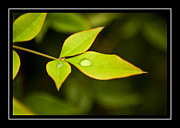 Raindrops On Leaves Framed Prints - Three Tears Framed Print by Carolyn Marshall
