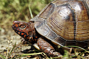 Animals Photos - Three Toed Box Turtle by Jason Politte