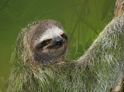 Sloth Photo Posters - Three-Toed Sloth Poster by Heiko Koehrer-Wagner