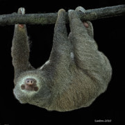 Brown Throated Sloth Framed Prints - Three-toed Sloth Framed Print by Larry Linton