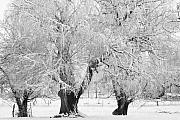 Snow Posters Framed Prints - Three Trees in the snow - BW fine art photography print Framed Print by James Bo Insogna