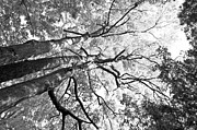 Orange Photos - Three trees reach for the sky black and white by LeeAnn McLaneGoetz McLaneGoetzStudioLLCcom