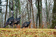 Turkey Metal Prints - Three Turkeys All In A Row Metal Print by Douglas Barnett