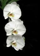 Sabrina L Ryan - Three White Orchids