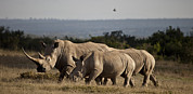 Rhinoceros Framed Prints - Three White Rhino In The Late Afternoon Framed Print by Robin Moore