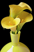 Yello Posters - Three yellow calla lilies Poster by Garry Gay